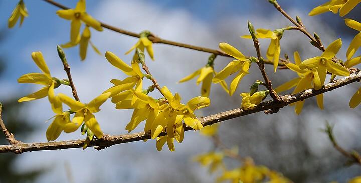 Zlatý déšť (Forsythia intermedia)